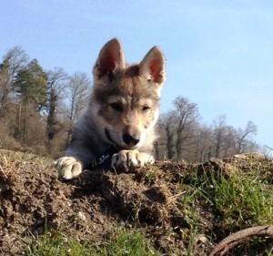 Wölfe würden Fleisch von DIBO kaufen, Hunde ebenso.