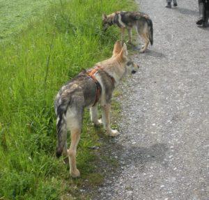 Faro und Samui, unsere zwei Hunde