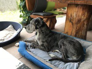 Emeli, eine deutsche Dogge